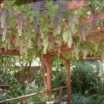 Vinova Loza u dvorištu