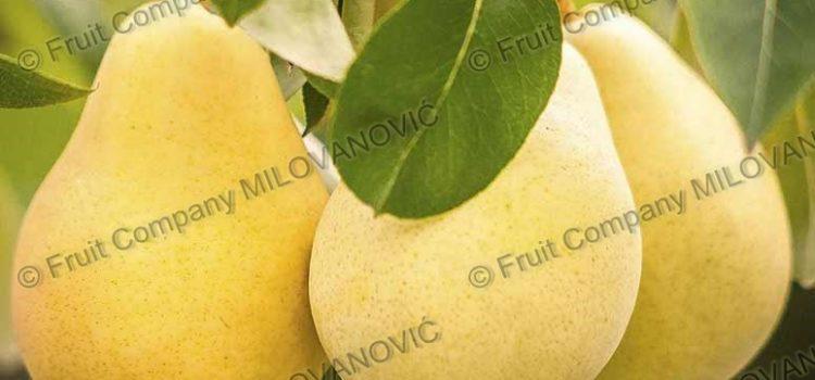 Voćne Sadnice Kruške sorte Citronka