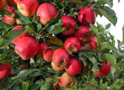 rodnost voćnjaka