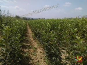 Rasadnik Fruit Company Milovanović 015