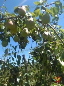 Rasadnik Fruit Company Milovanović 019