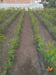 Rasadnik Fruit Company Milovanović 022