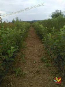 Rasadnik Fruit Company Milovanović 028